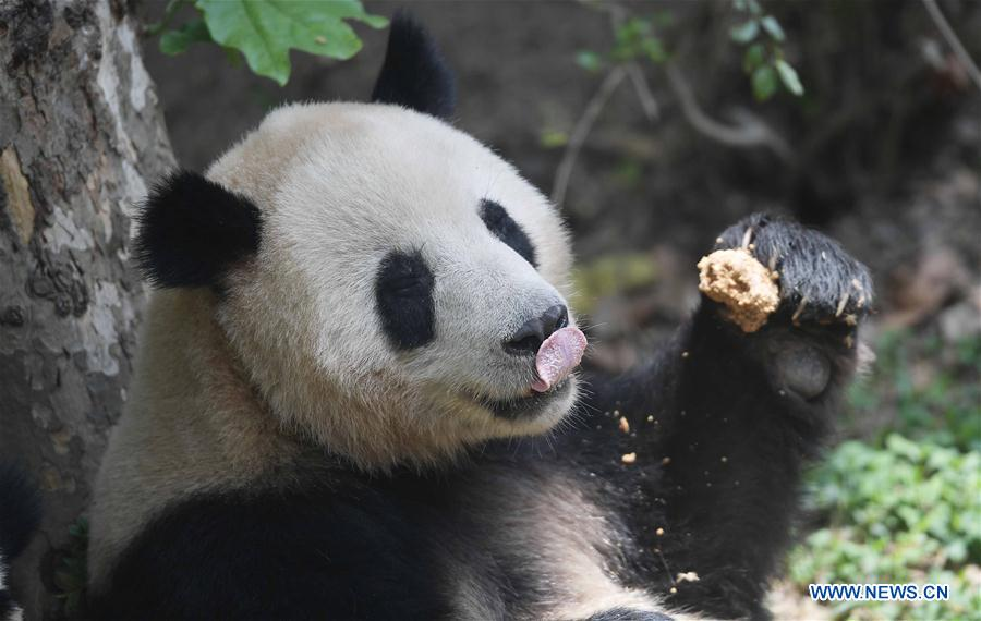 China, Denmark agree to jointly conduct 15-year giant panda research
