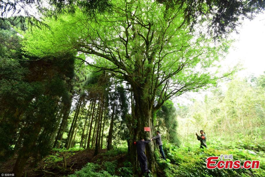 Gingko tree 'couple' found in central China